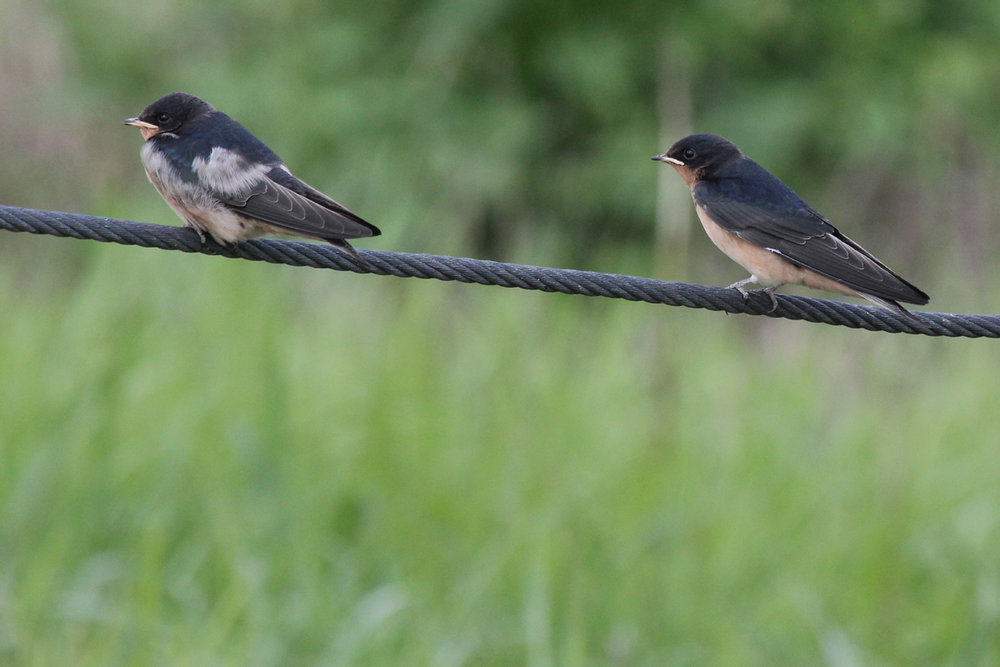 Barn Swallows / 9 Jun / Campbells Landing Rd.