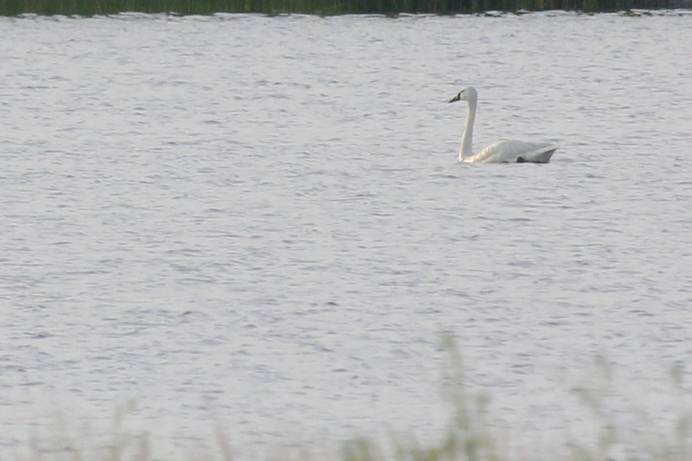 Tundra Swan / 17 Jun / Back Bay NWR