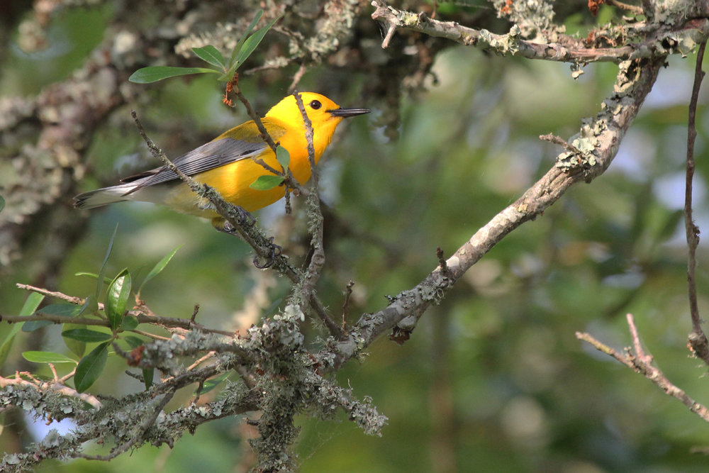 Prothonotary Warbler / 17 Jun / Back Bay NWR