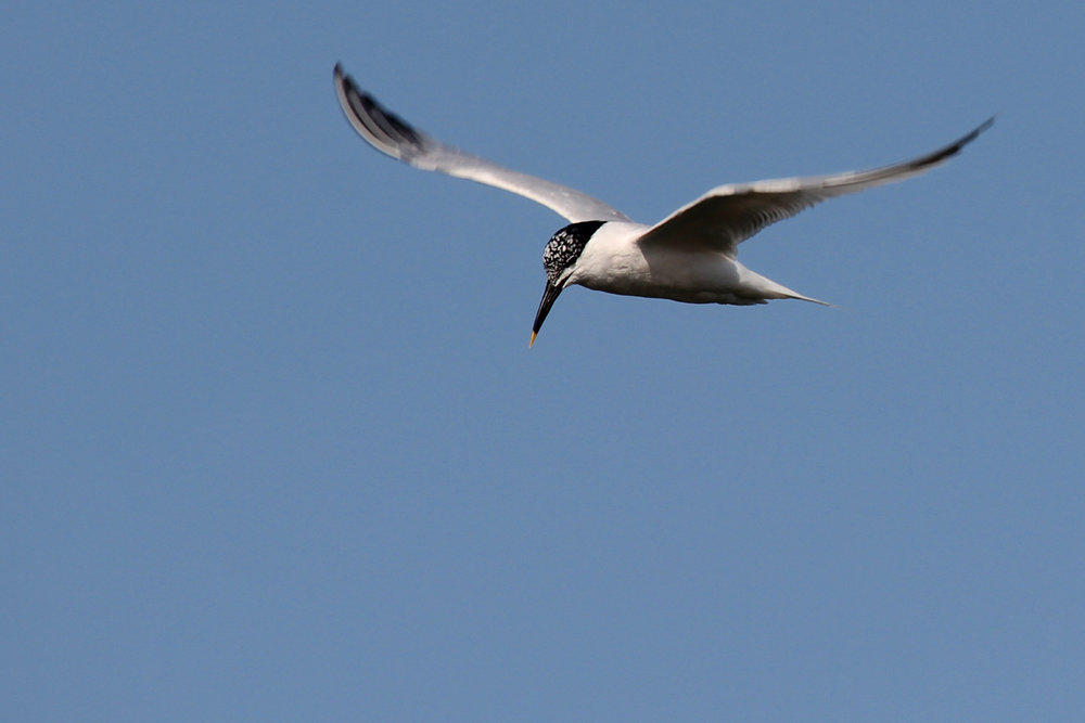 Sandwich Tern / 13 Jun / Pleasure House Point NA