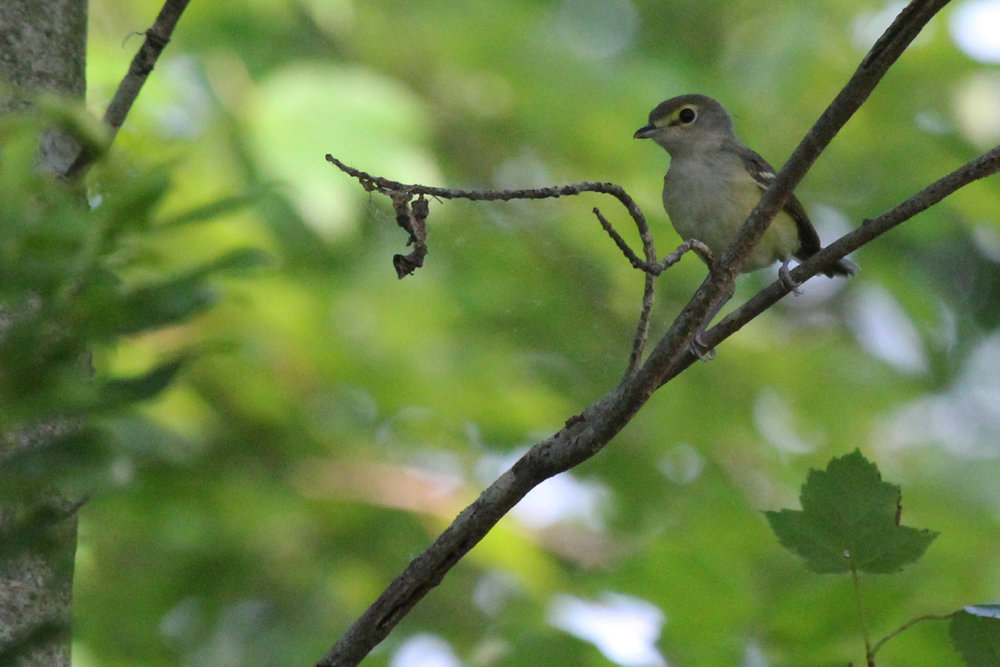 White-eyed Vireo / 17 Jun / Back Bay NWR