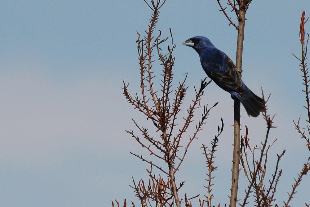 Blue Grosbeak / 21 Jun / Princess Anne WMA Whitehurst Tract