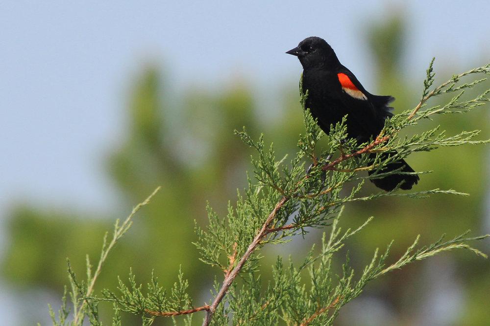 Red-winged Blackbird / 24 Jun / Pleasure House Point NA