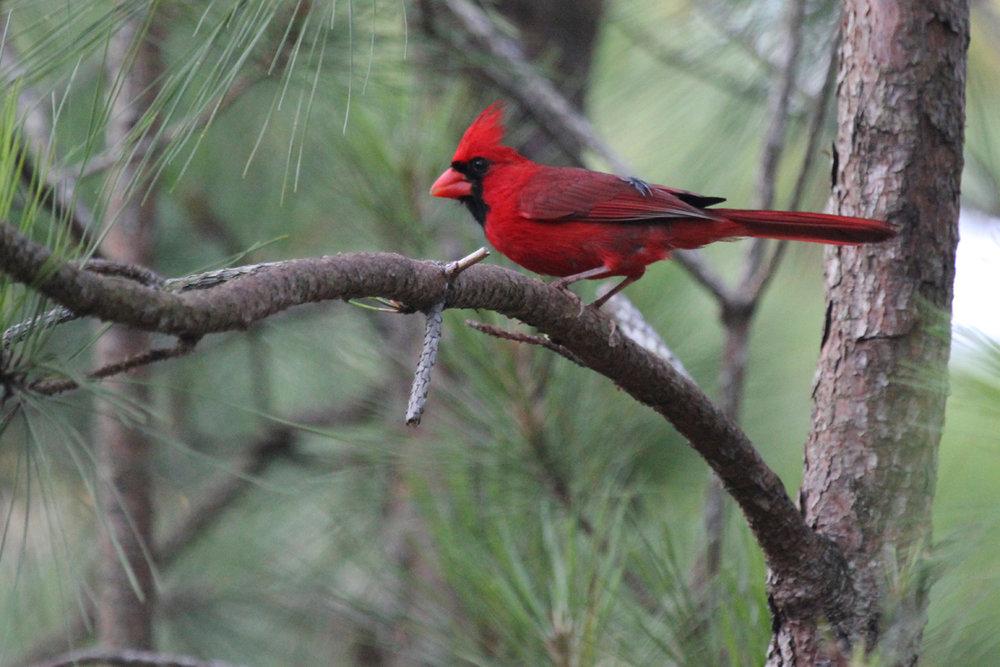 Northern Cardinal / 30 Jun / Pleasure House Point NA