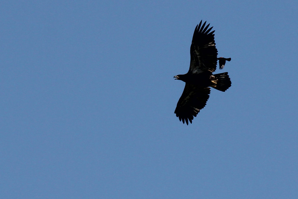 Bald Eagle & Red-winged Blackbird / 24 Jun / Pleasure House Point NA
