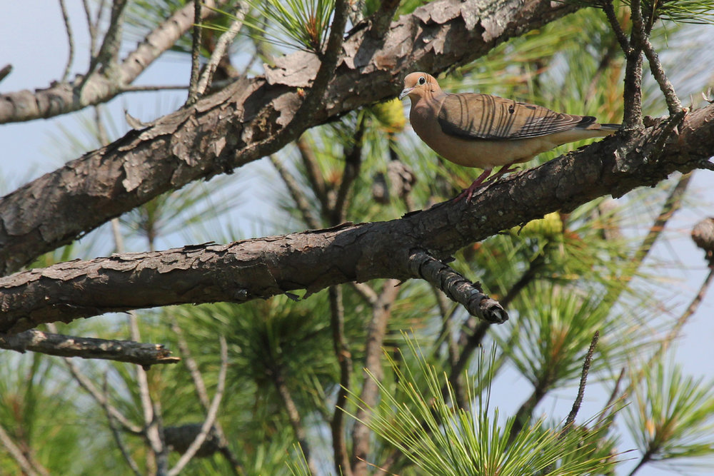 Mourning Dove / 24 Jun / Pleasure House Point NA