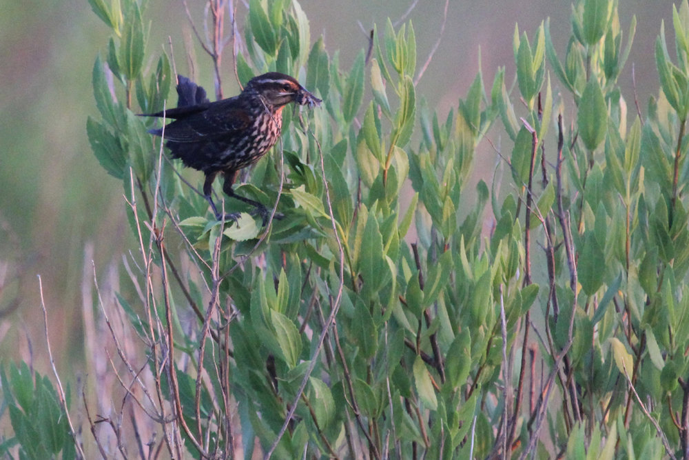 Red-winged Blackbird / 30 Jun / Pleasure House Point NA