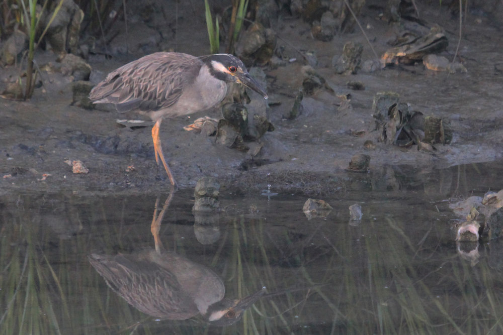 Yellow-crowned Night-Heron / 30 Jun / Pleasure House Point NA