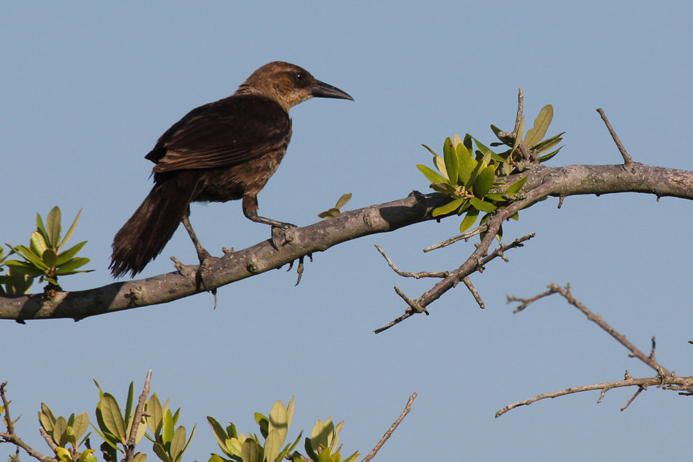 Boat-tailed Grackle / 30 Jun / Pleasure House Point NA