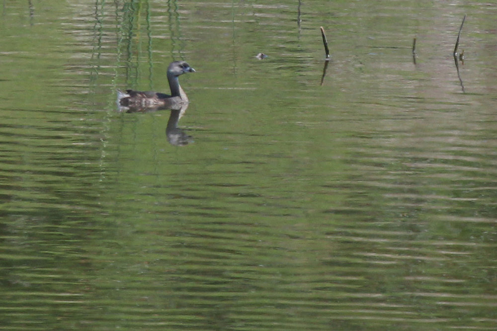 Pied-billed Grebe / 3 Jul / Marina Shores