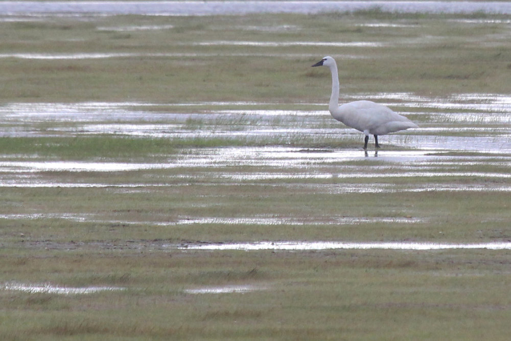 Tundra Swan / 8 Jul / Back Bay NWR