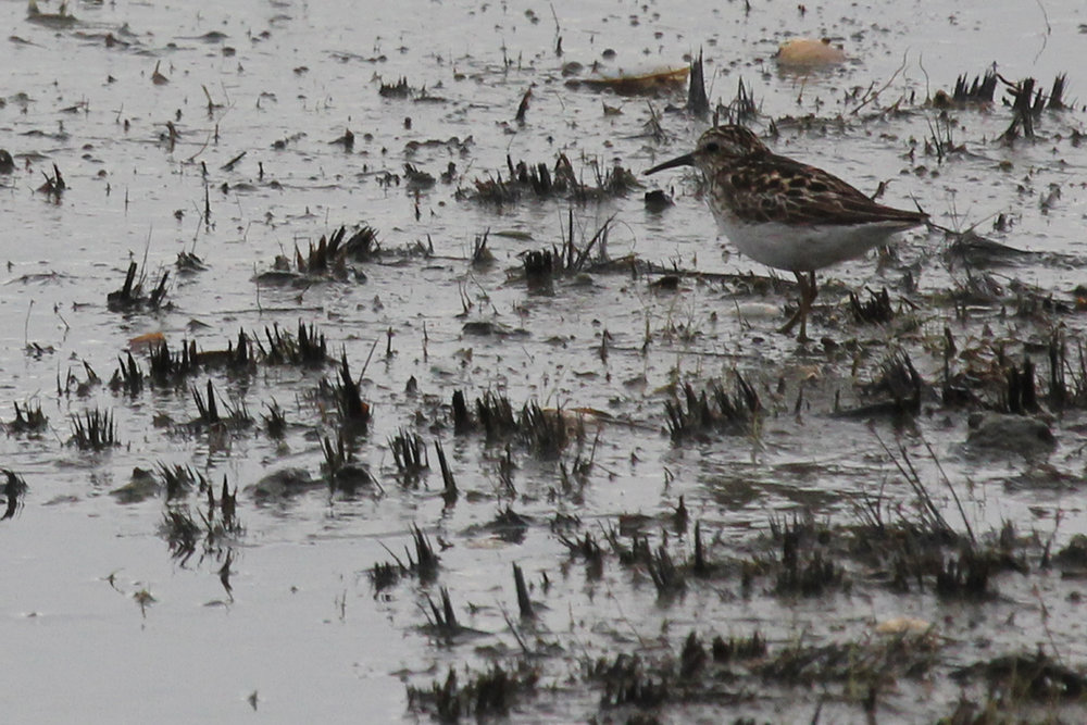 Least Sandpiper / 8 Jul / Back Bay NWR
