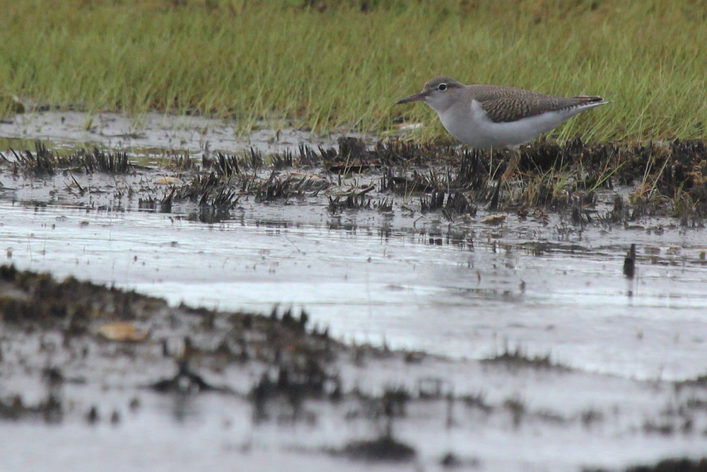 Spotted Sandpiper / 8 Jul / Back Bay NWR