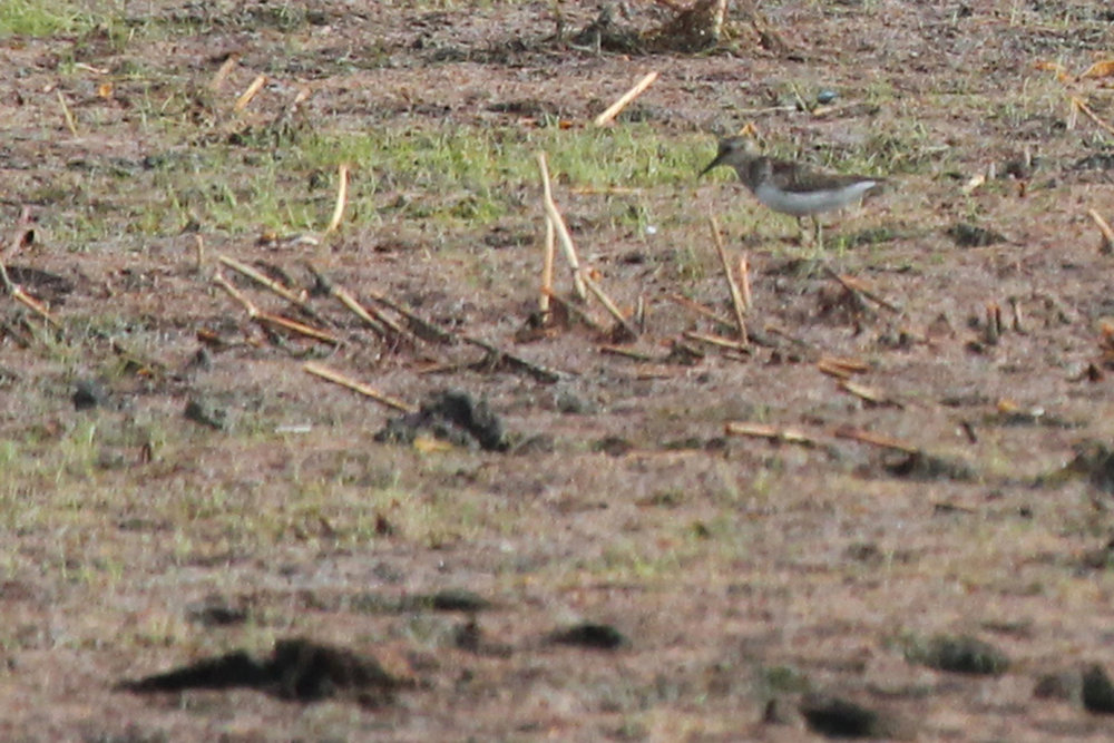 Least Sandpiper / 8 Jul / Princess Anne WMA Whitehurst Tract