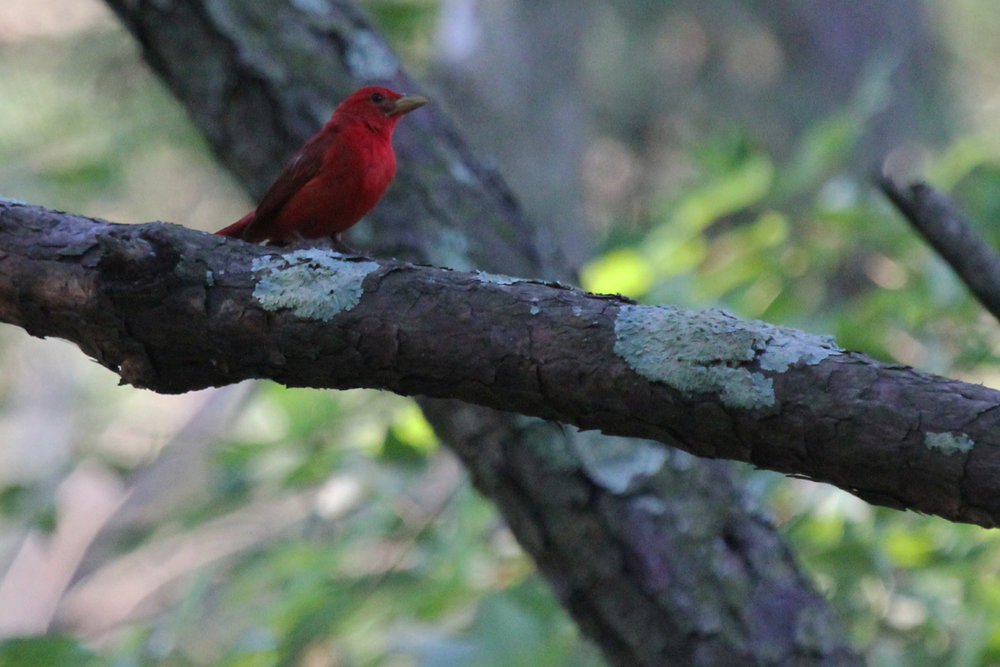 Summer Tanager / 1 Jul / Back Bay NWR