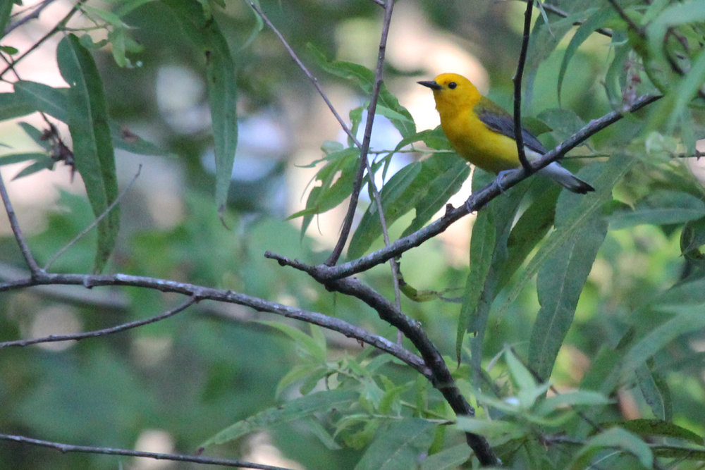 Prothonotary Warbler / 1 Jul / Back Bay NWR