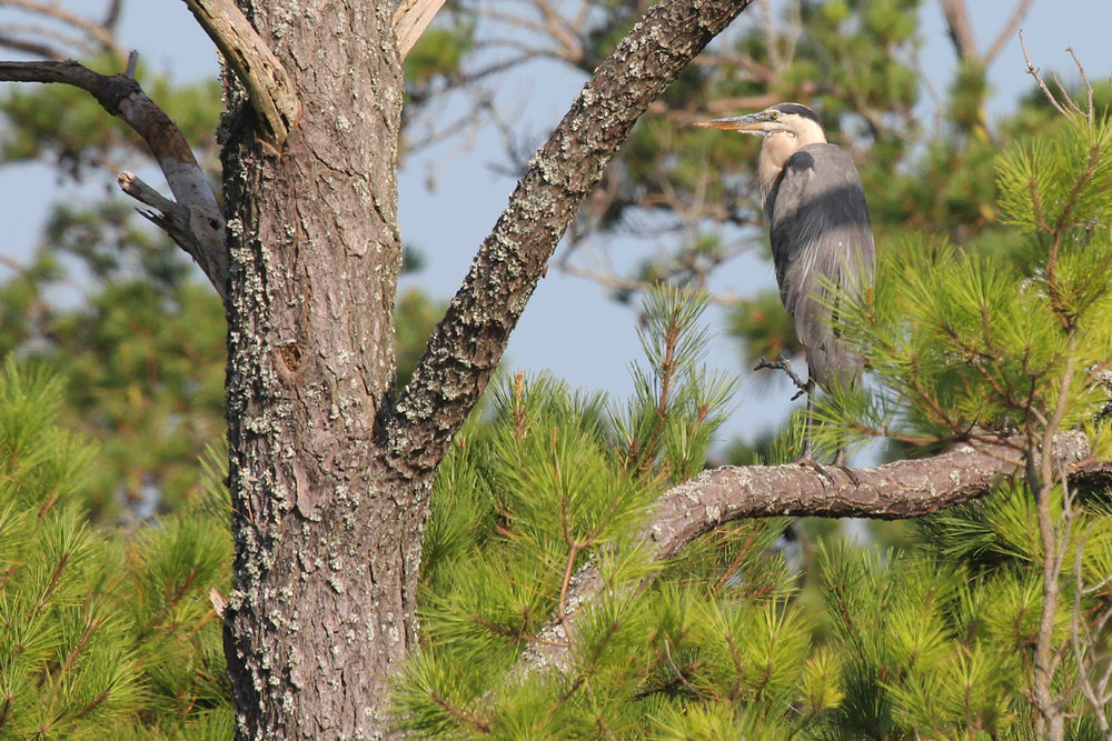Great Blue Heron (Blue morph) / 1 Jul / Back Bay NWR