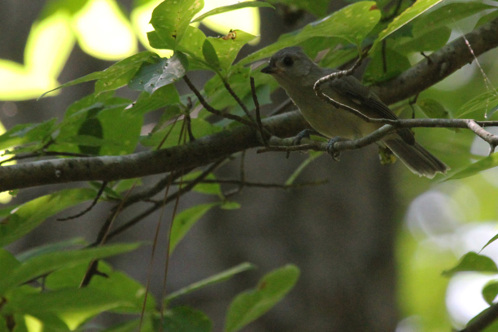 Tufted Titmouse / 1 Jul / Stumpy Lake NA