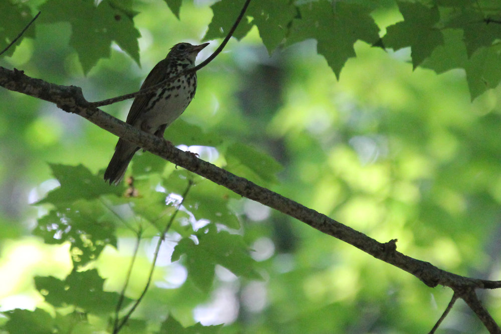 Wood Thrush / 1 Jul / Stumpy Lake NA