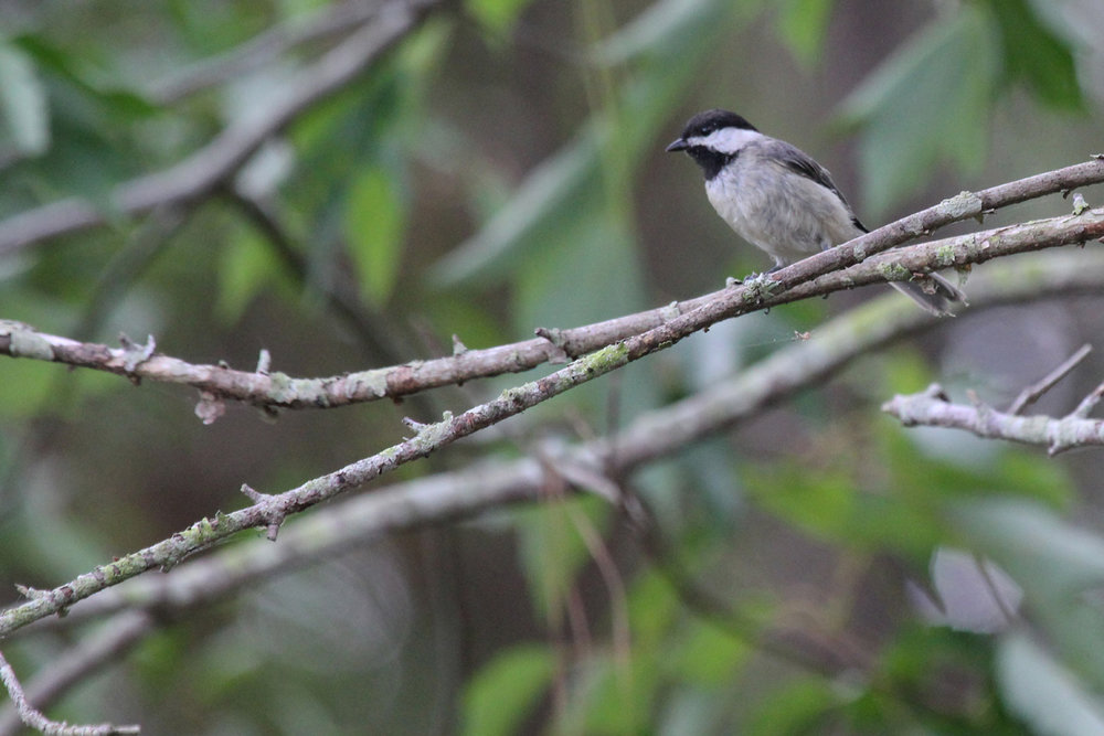Carolina Chickadee / 4 Jul / Princess Anne WMA Whitehurst Tract