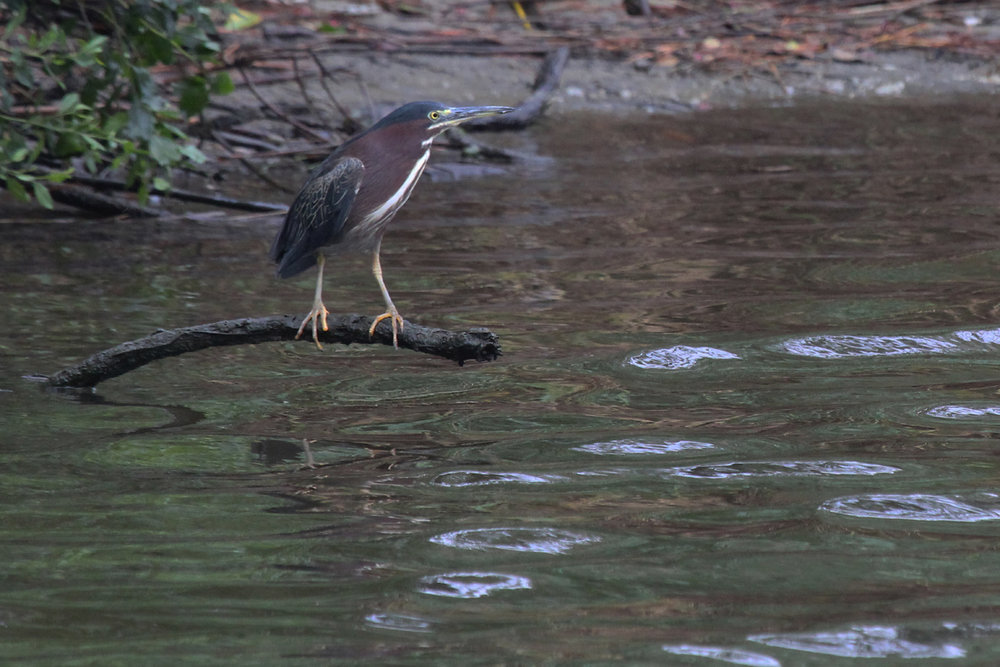 Green Heron / 7 Jul / Pleasure House Point NA