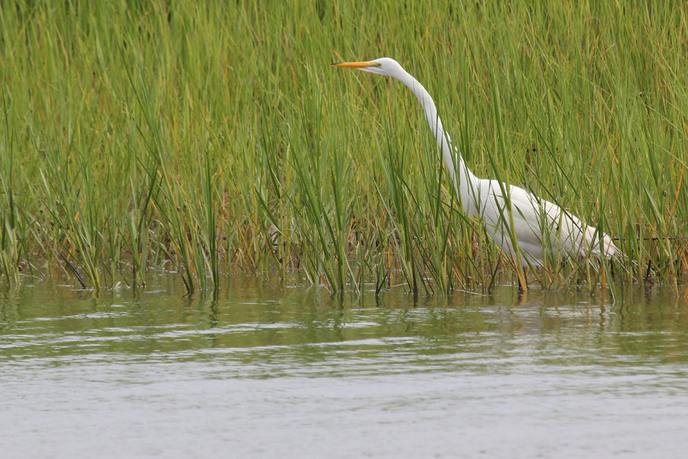 Great Egret / 7 Jul / Pleasure House Point NA