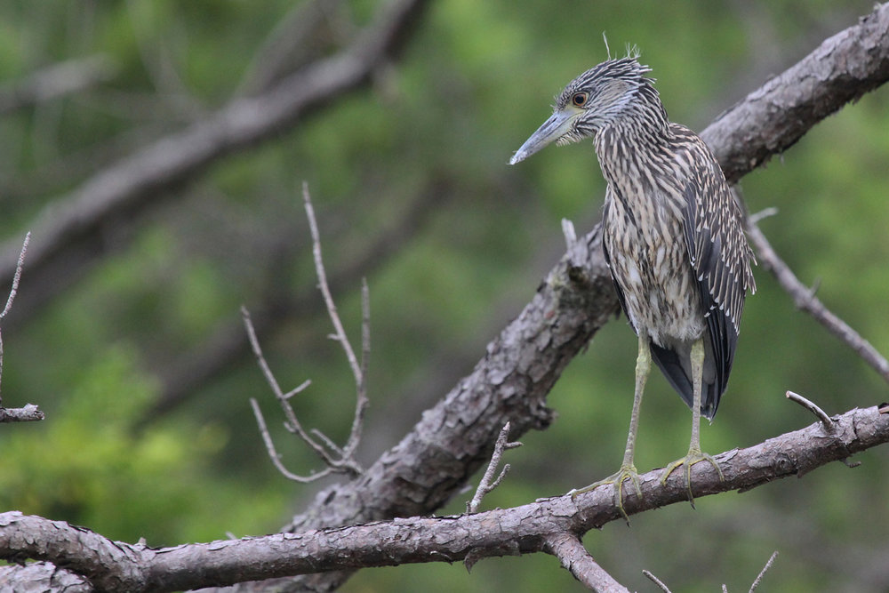 Yellow-crowned Night-Heron / 7 Jul / Pleasure House Point NA