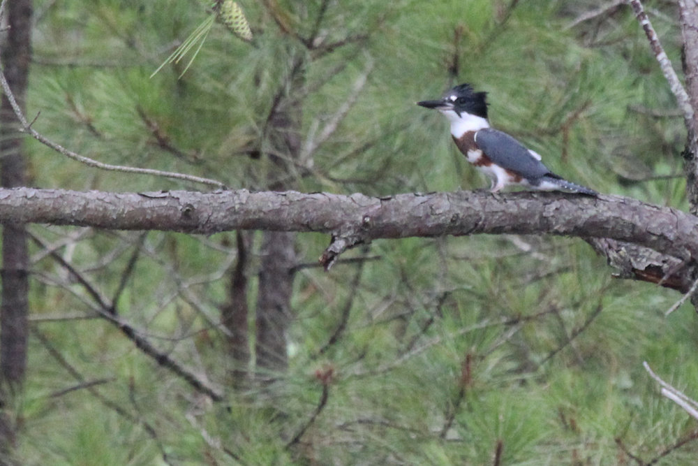 Belted Kingfisher / 7 Jul / Pleasure House Point NA