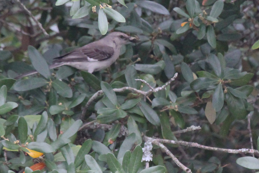Northern Mockingbird / 7 Jul / Pleasure House Point NA