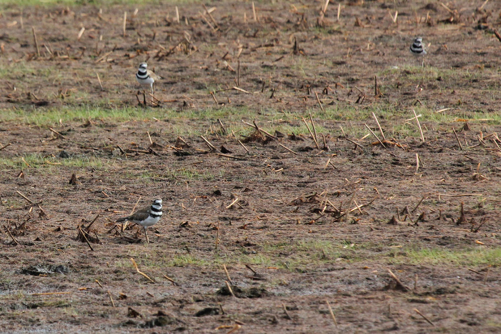 Killdeer / 8 Jul / Princess Anne WMA Whitehurst Tract