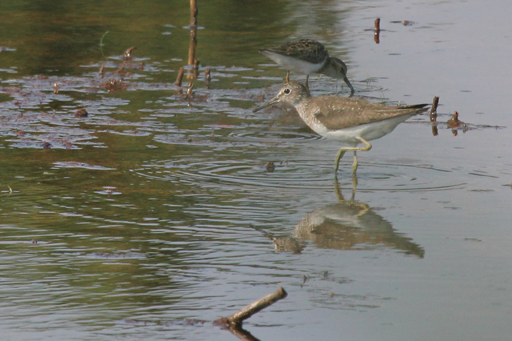 Solitary Sandpiper & Least Sandpiper / 12 Jul / Princess Anne WMA Whitehurst Tract