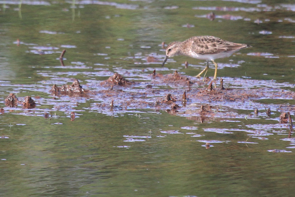 Least Sandpiper / 12 Jul / Princess Anne WMA Whitehurst Tract