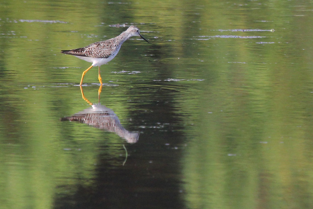 Lesser Yellowlegs / 12 Jul / Princess Anne WMA Whitehurst Tract