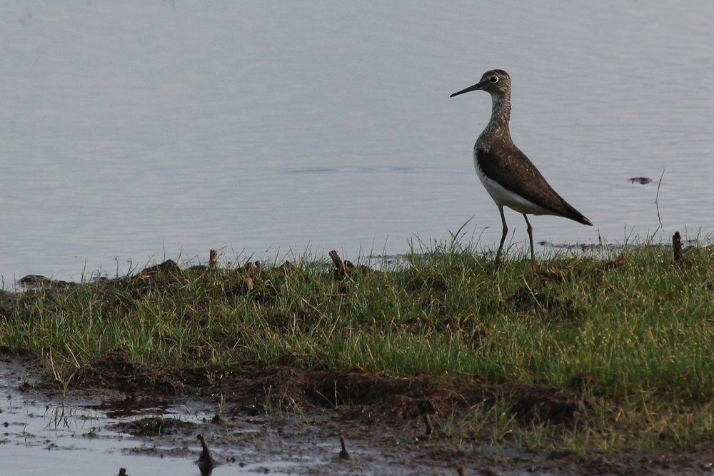 Solitary Sandpiper / 12 Jul / Princess Anne WMA Whitehurst Tract