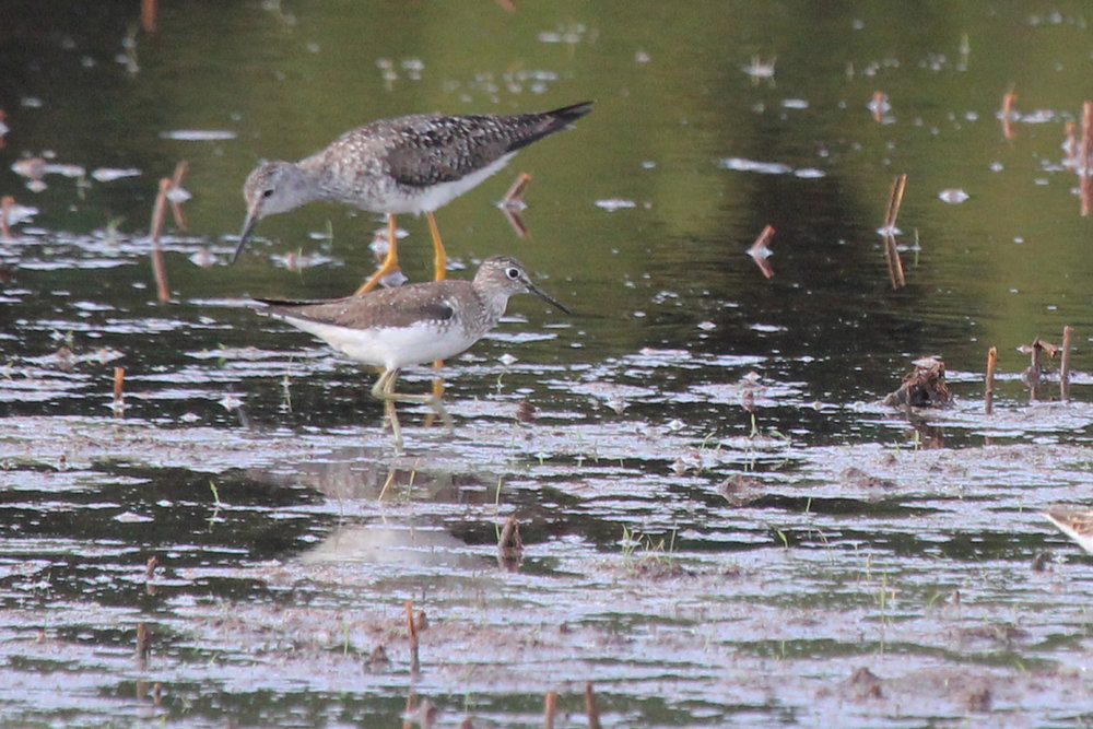 Solitary Sandpiper & Lesser Yellowlegs / 12 Jul / Princess Anne WMA Whitehurst Tract