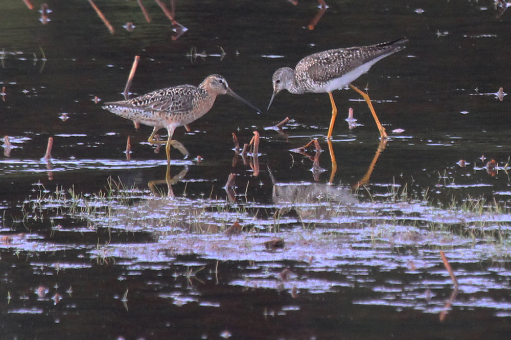 Short-billed Dowitcher & Lesser Yellowlegs / 12 Jul / Princess Anne WMA Whitehurst Tract