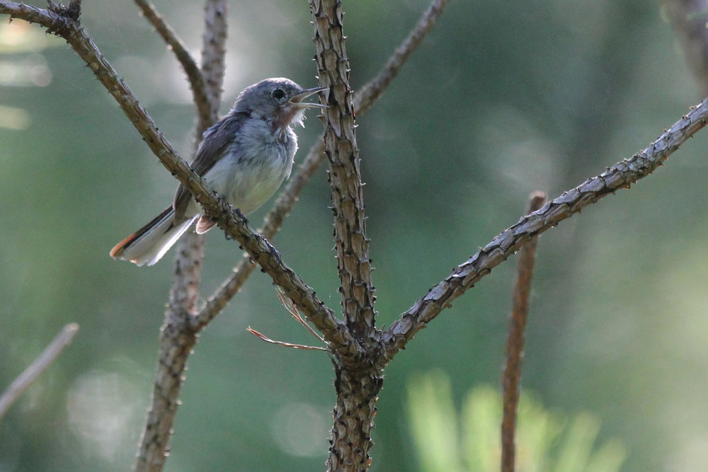 Blue-gray Gnatcatcher / 13 Jul / Princess Anne WMA Whitehurst Tract