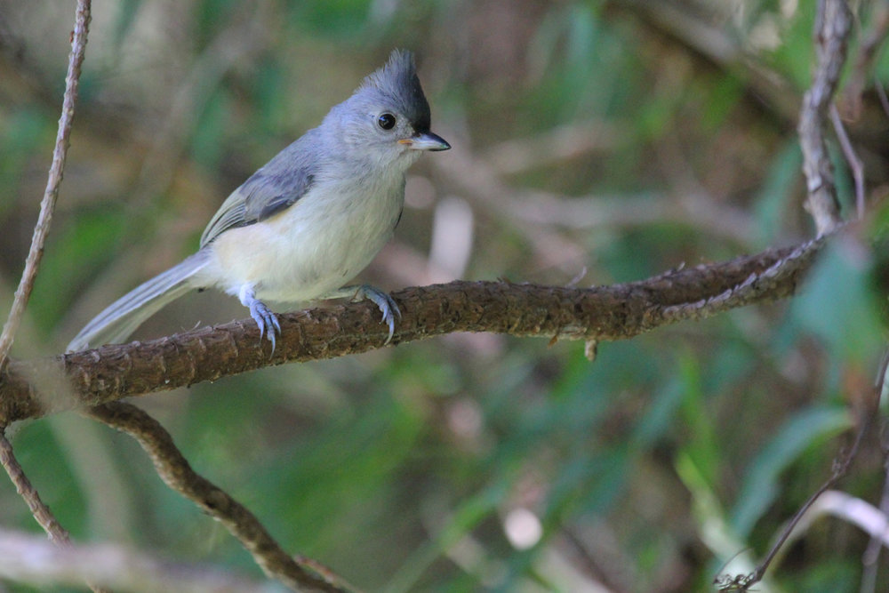 Tufted Titmouse / 14 Jul / Princess Anne WMA Whitehurst Tract
