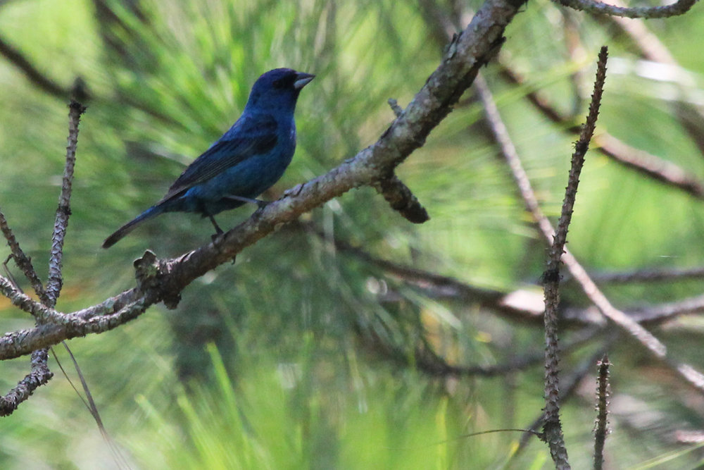 Indigo Bunting / 14 Jul / Princess Anne WMA Whitehurst Tract