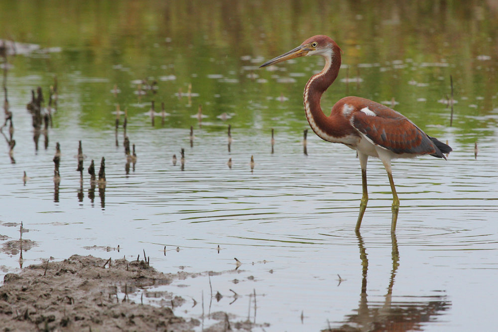 Tricolored Heron / 29 Jul / Muddy Creek Rd.