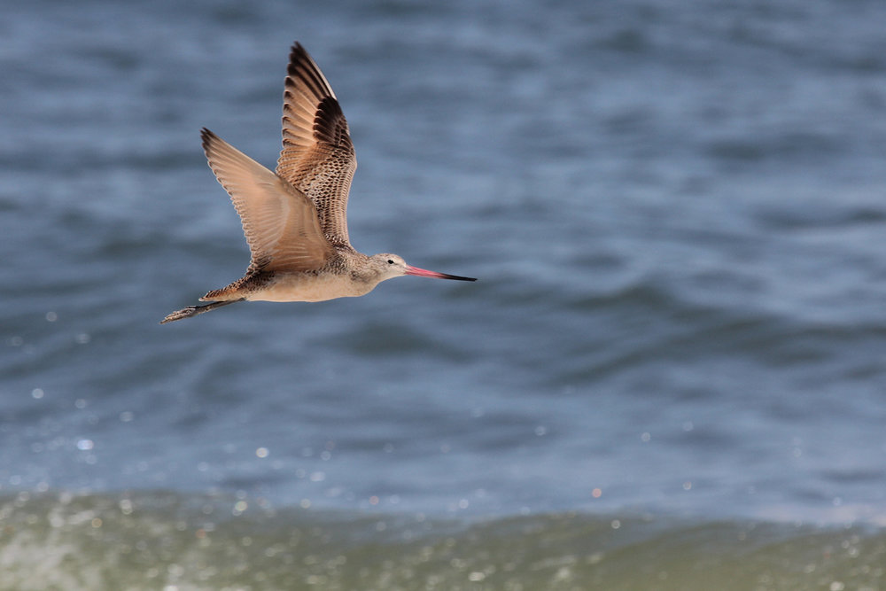 Marbled Godwit / Back Bay NWR
