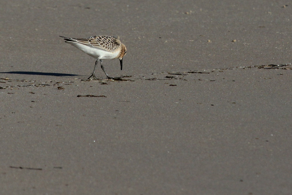 Baird's Sandpiper / 1 Sep / Back Bay NWR