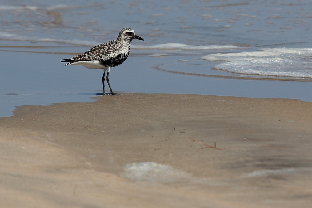 Black-bellied Plover / 1 Sep / Back Bay NWR