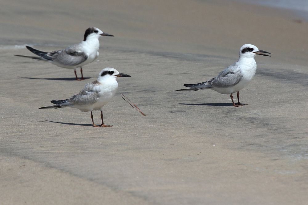 Forster's Terns / 1 Sep / Back Bay NWR