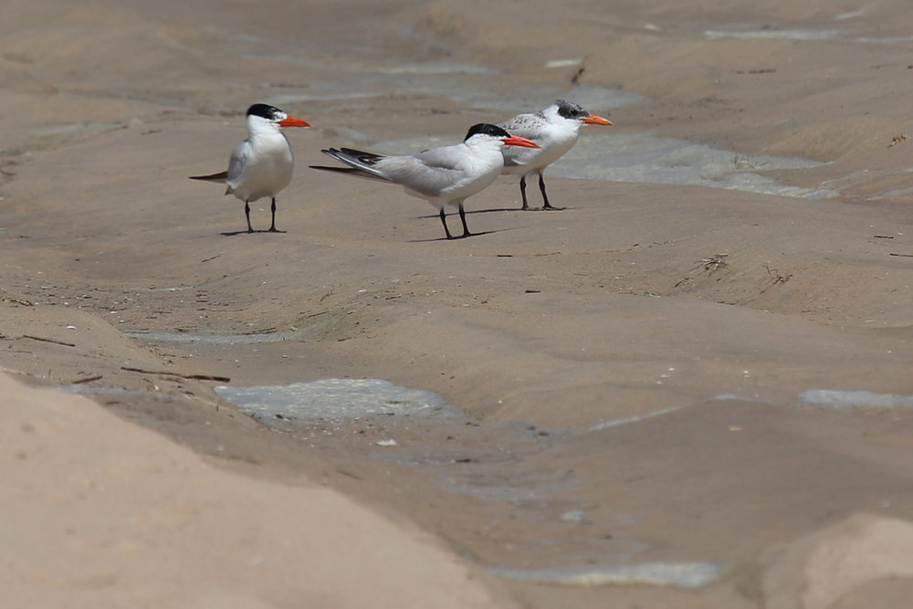 Caspian Terns / 1 Sep / Back Bay NWR