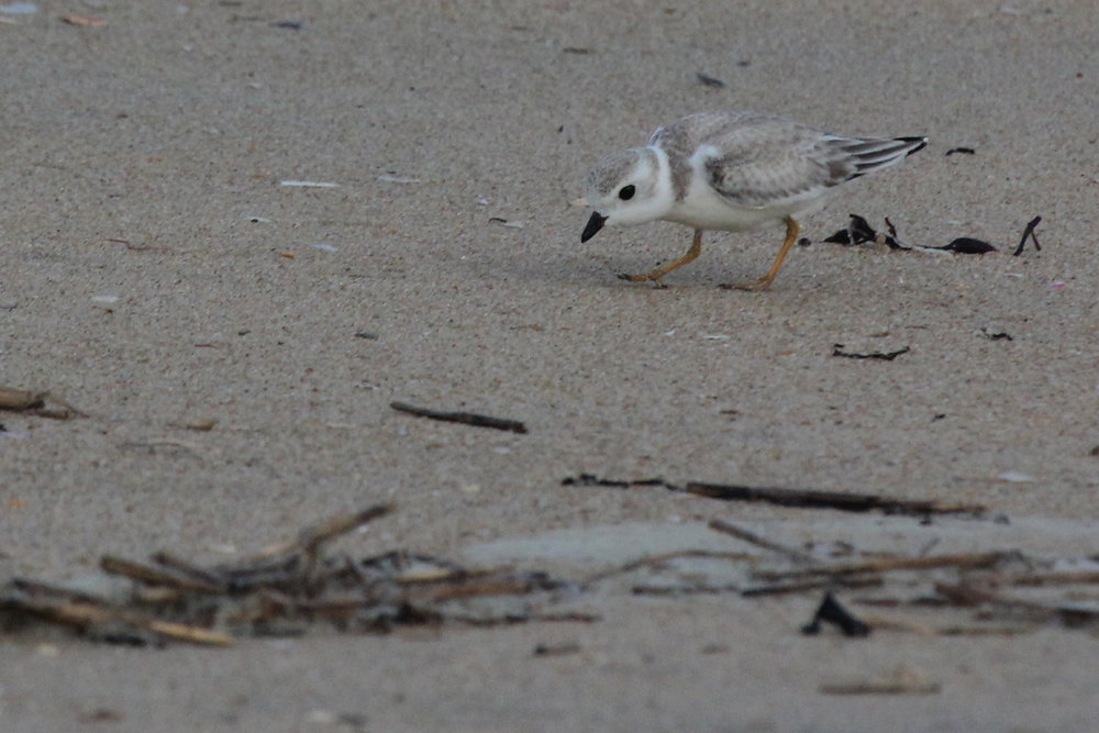 Piping Plover / 9 Sep / Back Bay NWR
