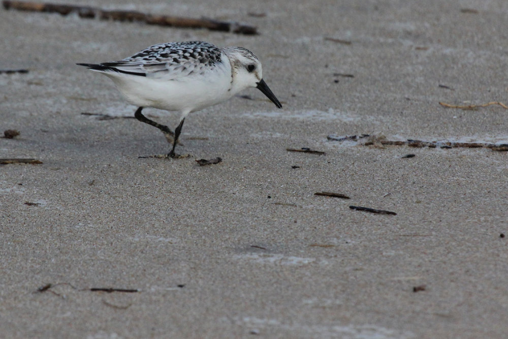 Sanderling / 9 Sep / Back Bay NWR