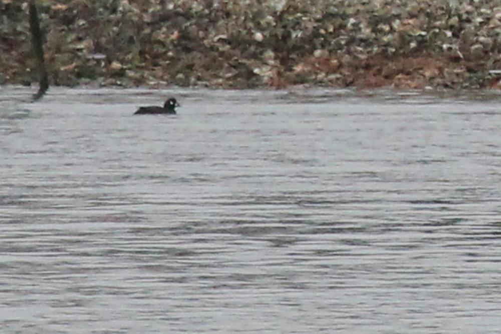 Harlequin Duck / 12 Jan / Long Creek