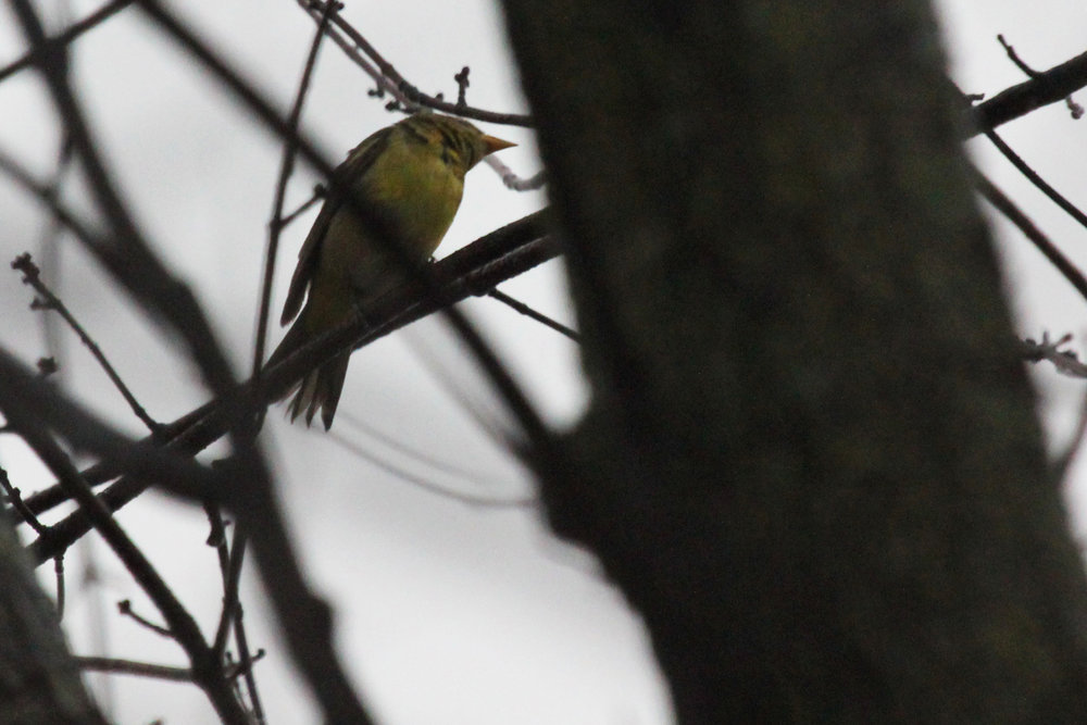 Western Tanager / 13 Jan / Windsor Woods (Private Residence)