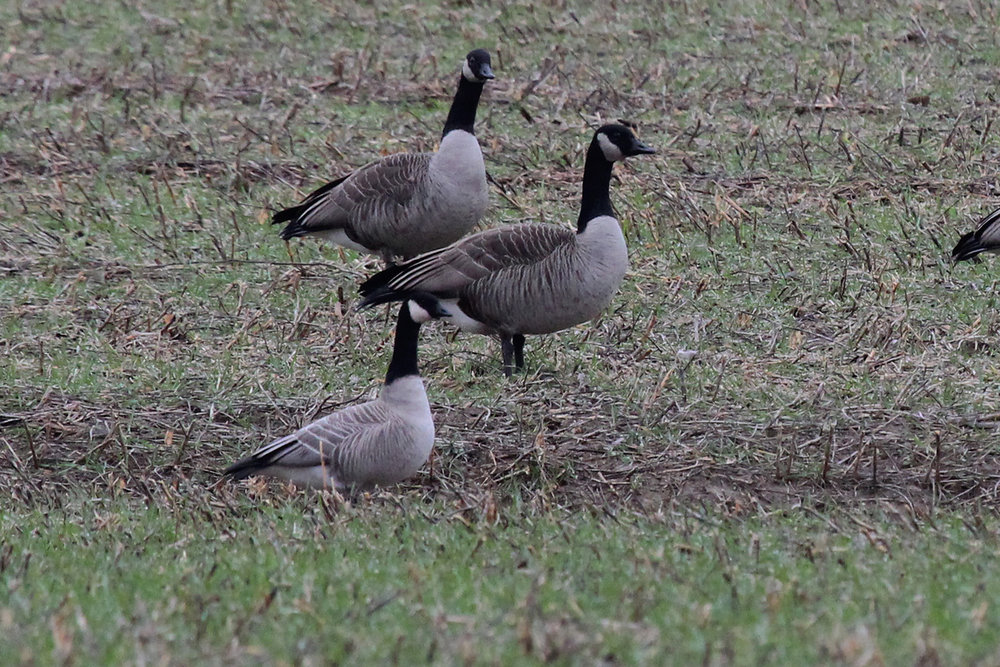 Cackling Goose & Canada Geese / 13 Jan / Princess Anne Rd.